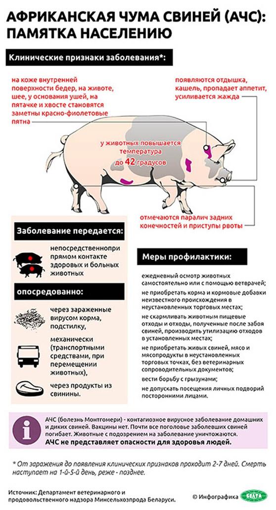 Памятка по африканской чуме свиней картинка